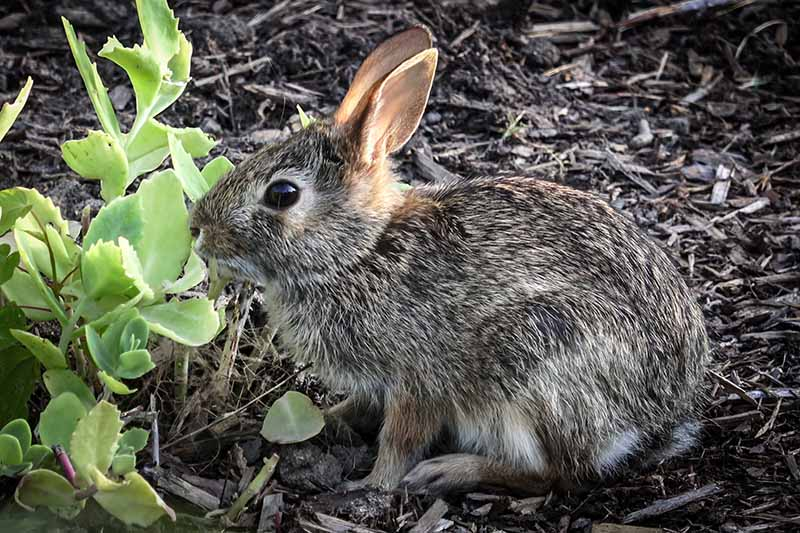 A close up horizontal image of a rabbit munching on plants in the garden.