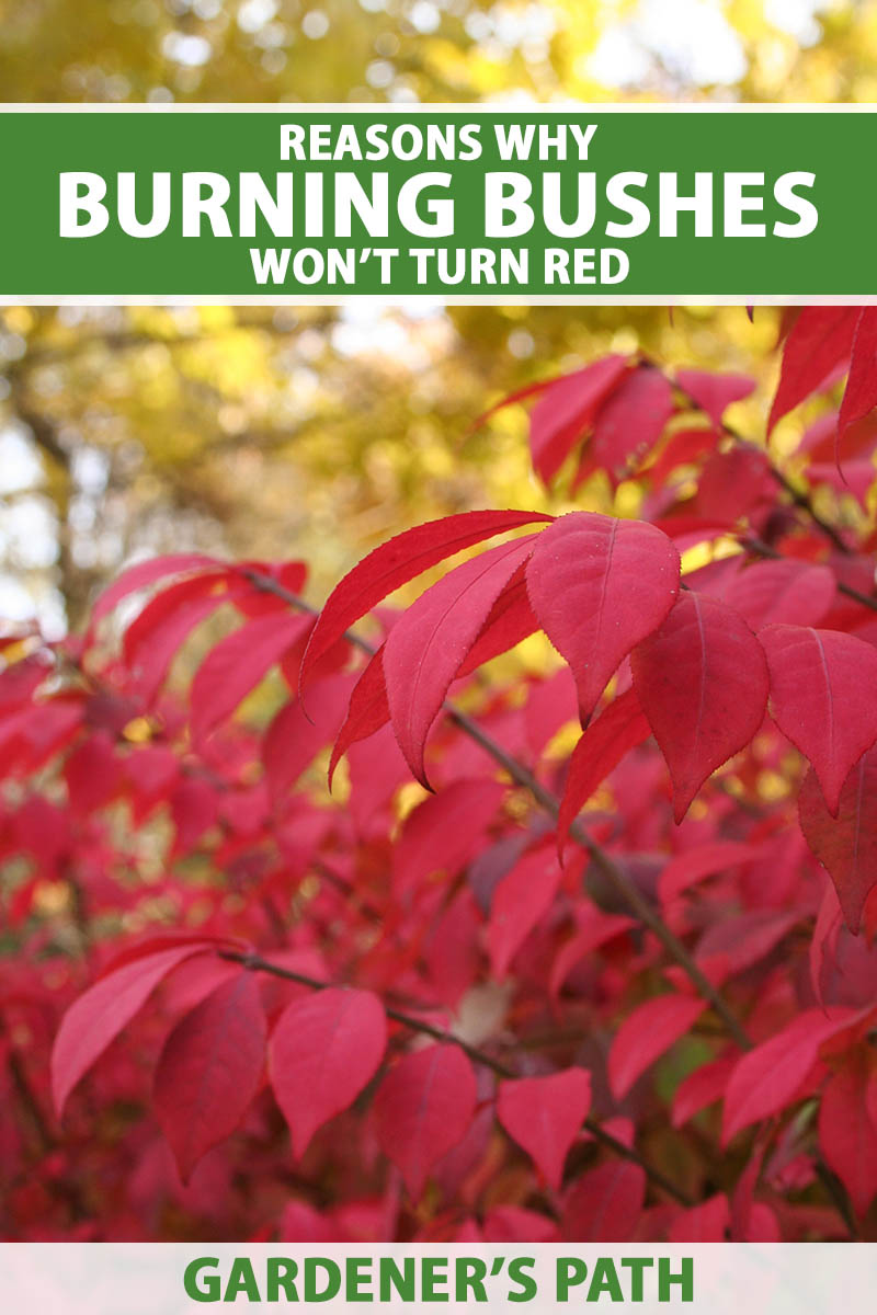 A close up vertical image of a burning bush (Euonymus alatus) with bright red foliage growing in the fall garden pictured on a soft focus background. To the top and bottom of the frame is green and white printed text.