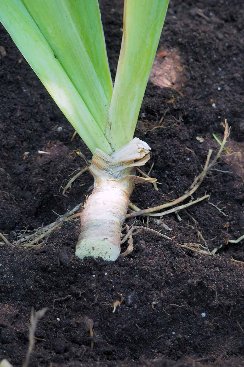 A close up vertical image of a replanted iris division in rich soil.
