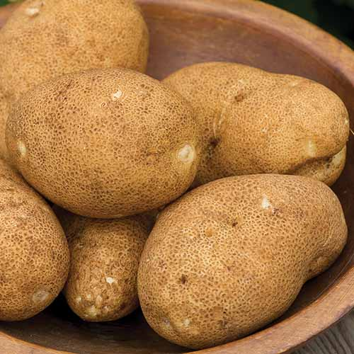 A close up square image of a pile of 'Rio Grande Russet' potatoes in a wooden bowl.
