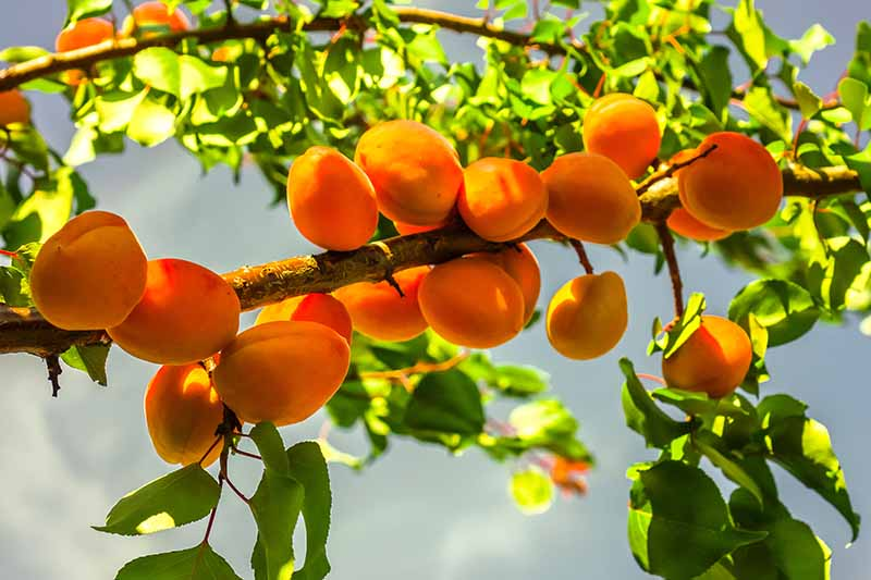 A close up horizontal image of an apricot tree with ripe fruits growing in the garden pictured on a soft focus background.
