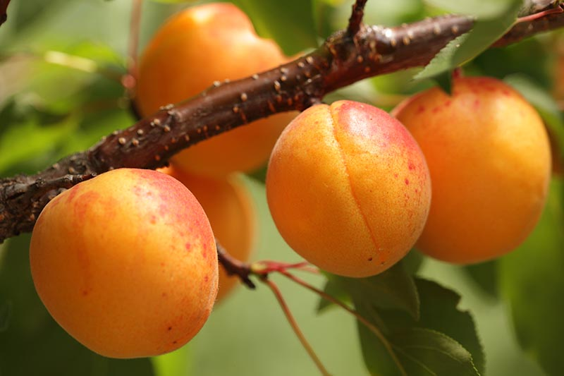 A close up horizontal image of ripe, ready to harvest apricots pictured on a soft focus background.