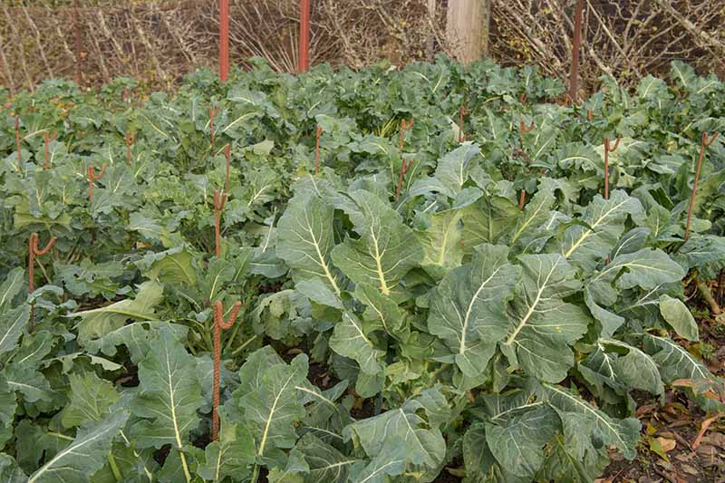 A horizontal image of rows of Romanesco broccoli growing in the vegetable garden.