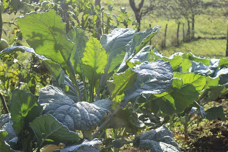 A close up horizontal image of Romanesco broccoli growing in the garden.
