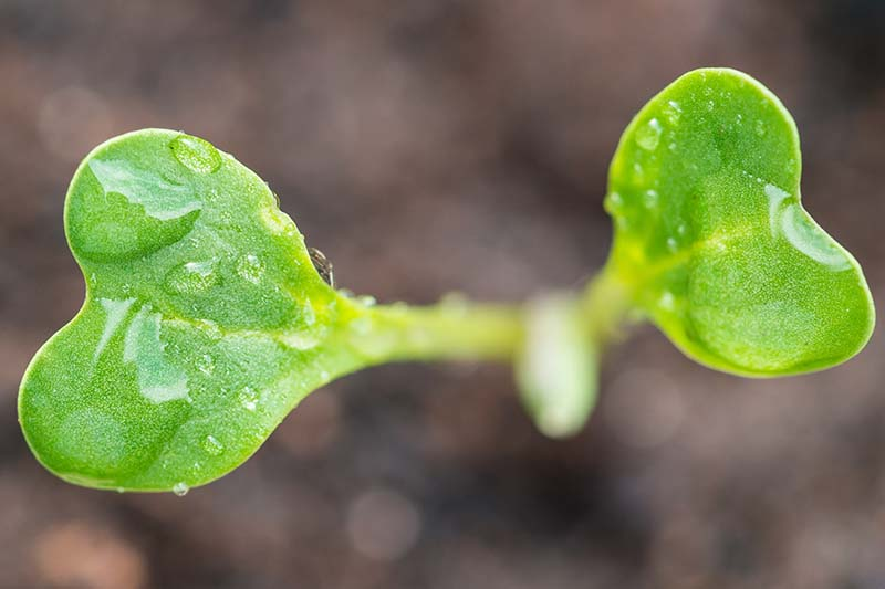 A close up horizontal image of a tiny Romanesco broccoli seedling with water droplets on the leaves, pictured on a soft focus background.
