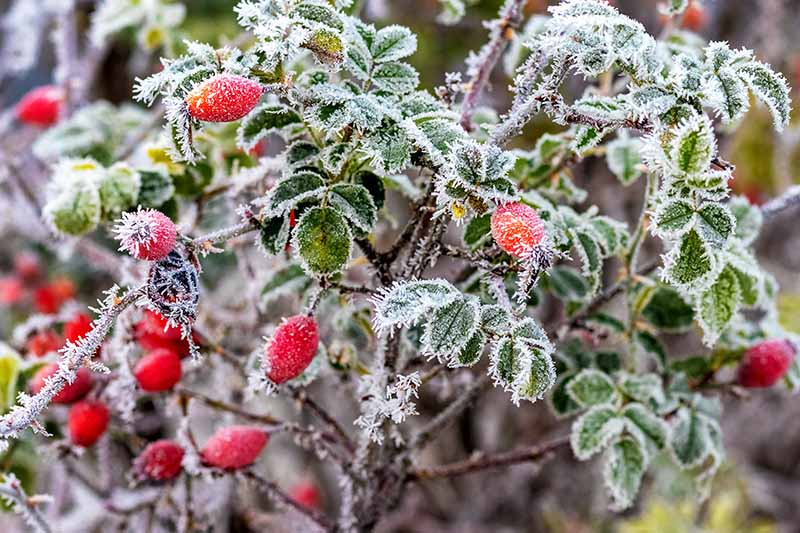 A close up horizontal image of rose hips growing on the shrub covered with a light frost.