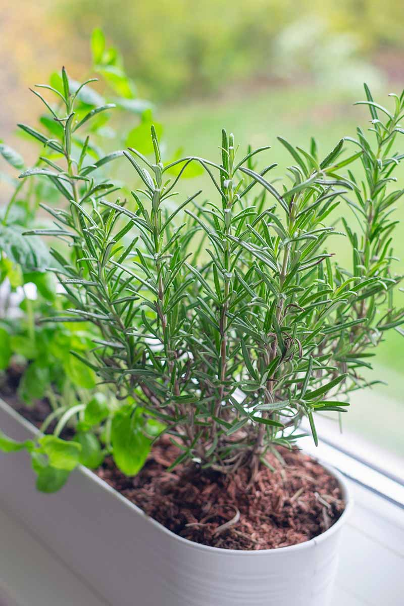 A close up vertical image of a rectangular planter set on a windowsill with a variety of herbs, pictured on a soft focus background.