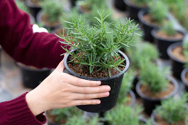 A close up horizontal image of two hands from the left of the frame holding up a small rosemary plant growing in a black plastic pot.