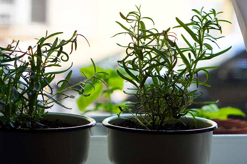 A close up horizontal image of small pots of rosemary growing indoors on a windowsill pictured on a soft focus background.