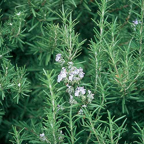 A close up square image of rosemary growing in the garden.