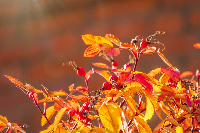 A close up horizontal image of a rose shrub in autumn, pictured on a soft focus background.