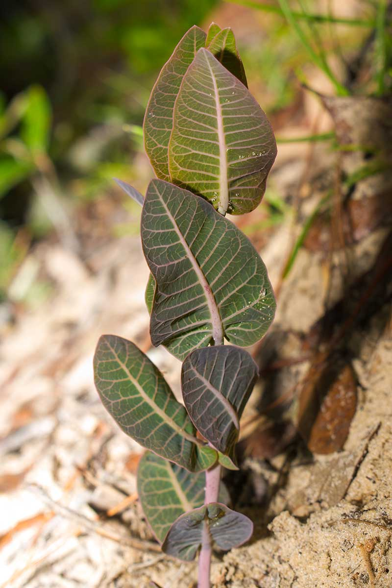 A close up vertical image of Asclepias humistrata foliage growing in sandy soil.