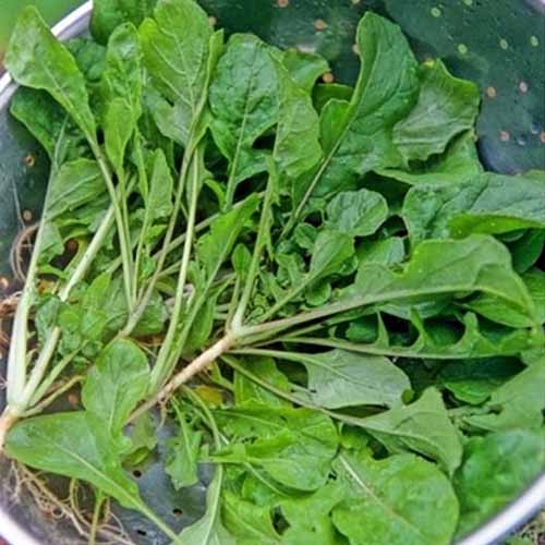A close up square image of 'Seven Top' turnip greens in a metal colander.