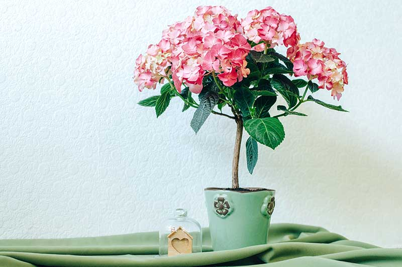A close up horizontal image of a pink hydrangea growing in a small pot set o a green fabric.