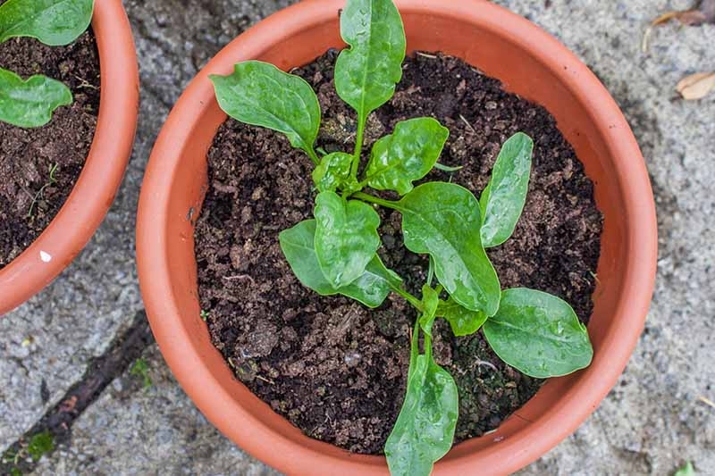A close up horizontal image of small spinach plants growing in terra cotta pots set on a concrete surface.