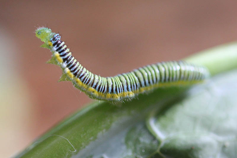 A close up horizontal image of a caterpillar on a brassica leaf pictured on a soft focus background.