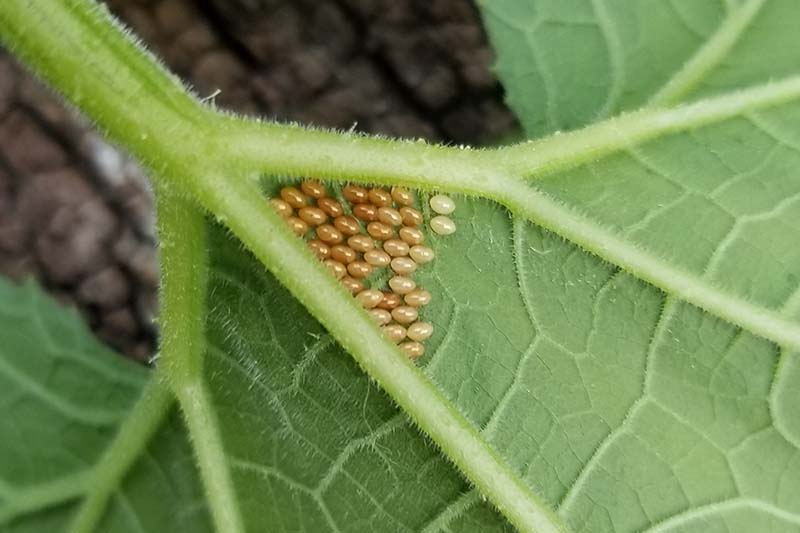 A close up horizontal image of Anasa tristis eggs on the underside of a leaf.