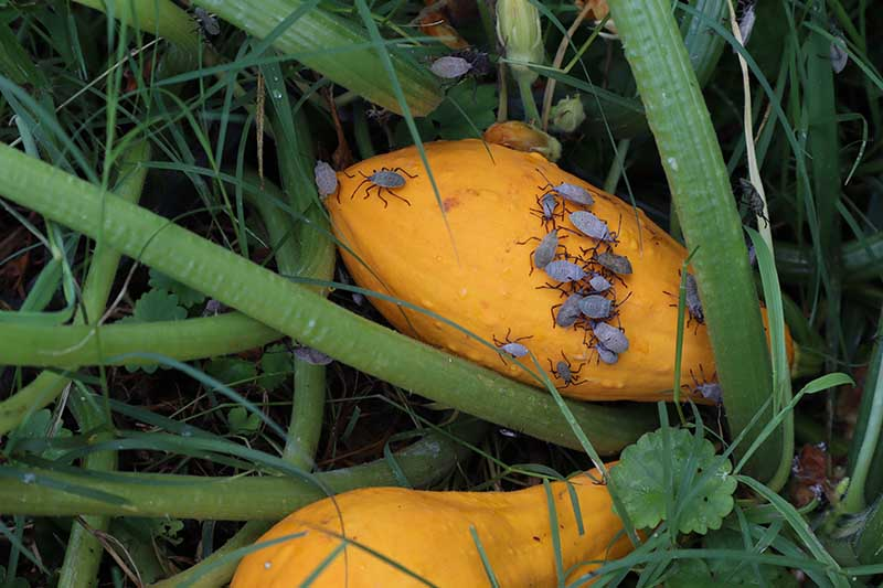 A close up horizontal image of yellow summer squash fruits infested with Anasa tristis bugs pictured in the garden.