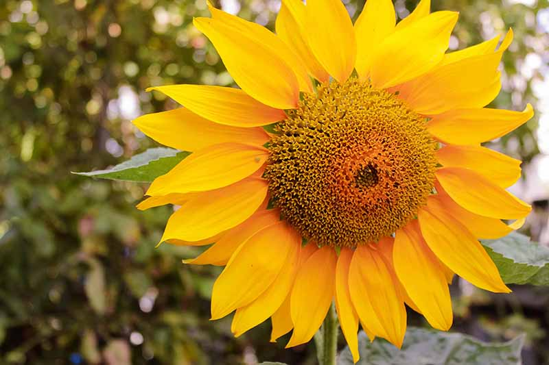 A close up horizontal image of a bright yellow sunflower growing in the garden pictured on a soft focus background.