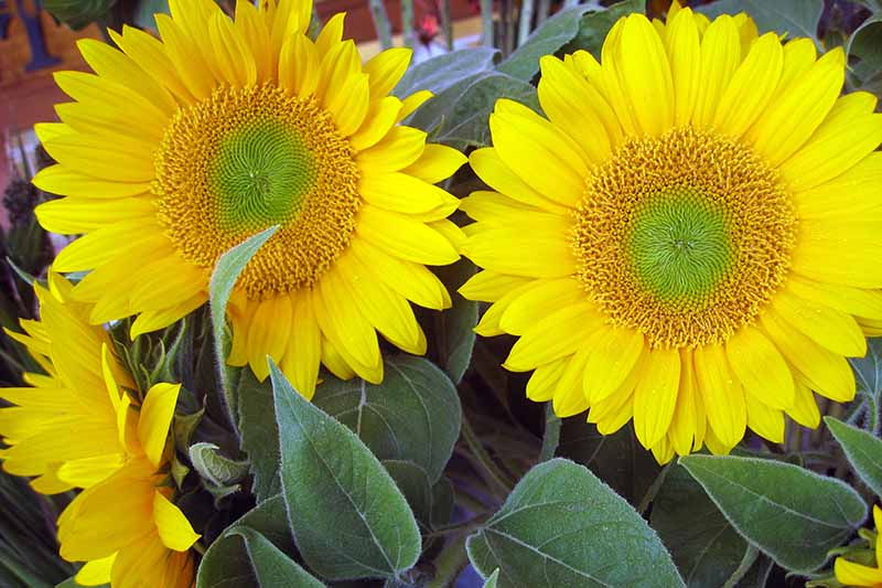 A close up horizontal image of a bouquet of bright sunflowers.