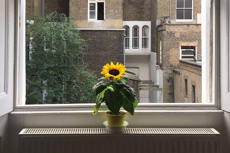 A close up horizontal image of a sunflower growing in a small container on a windowsill in front of a sash window.