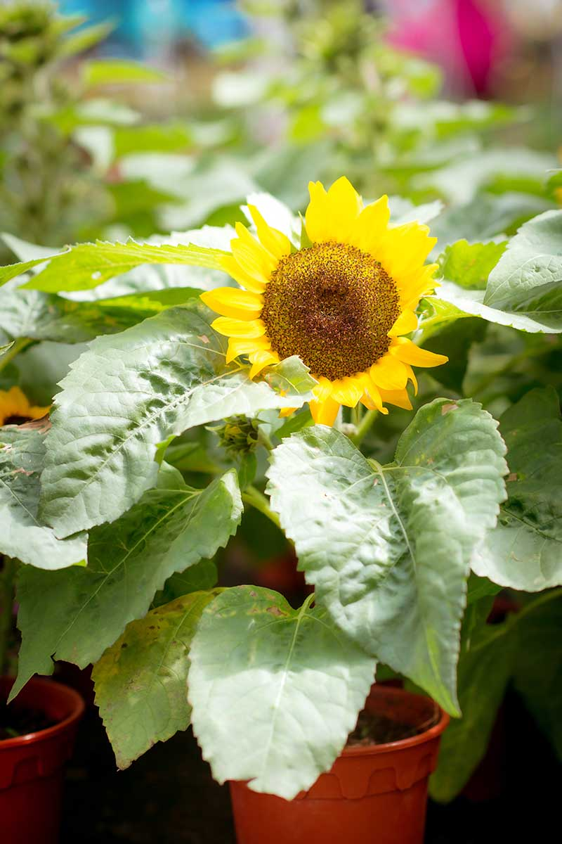 A close up vertical image of sunflowers growing in small pots at a garden nursery pictured on a soft focus background.