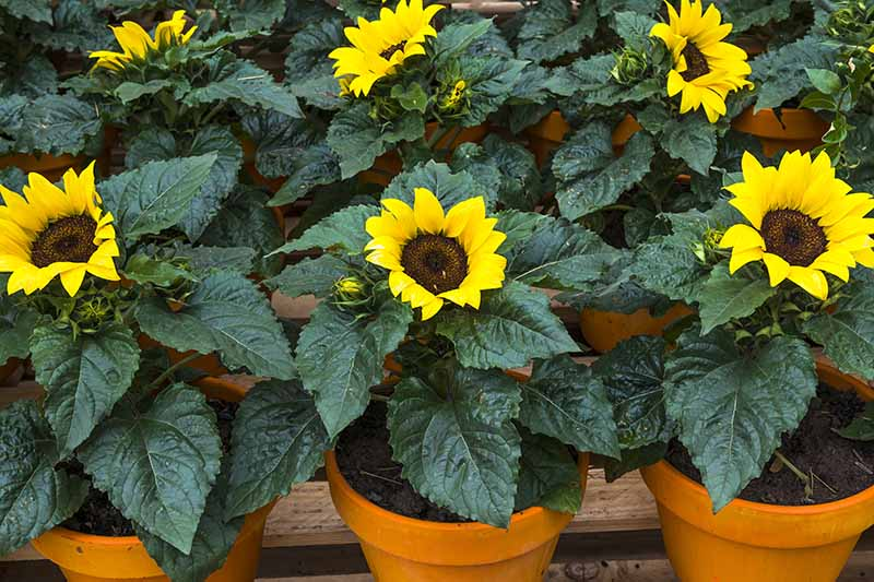 A close up horizontal image of rows of sunflowers growing in pots.