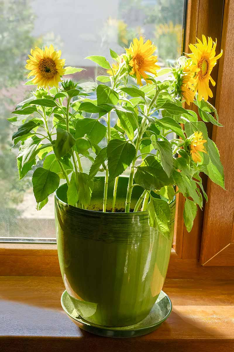 A close up vertical image of sunflowers growing in a green ceramic pot on a wooden windowsill in light sunshine.