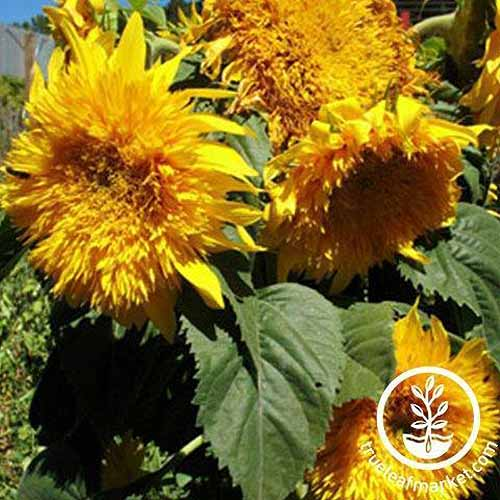 A close up square image of 'Sungold' sunflowers growing in the garden pictured in bright sunshine. To the bottom right of the frame is a white circular logo with text.