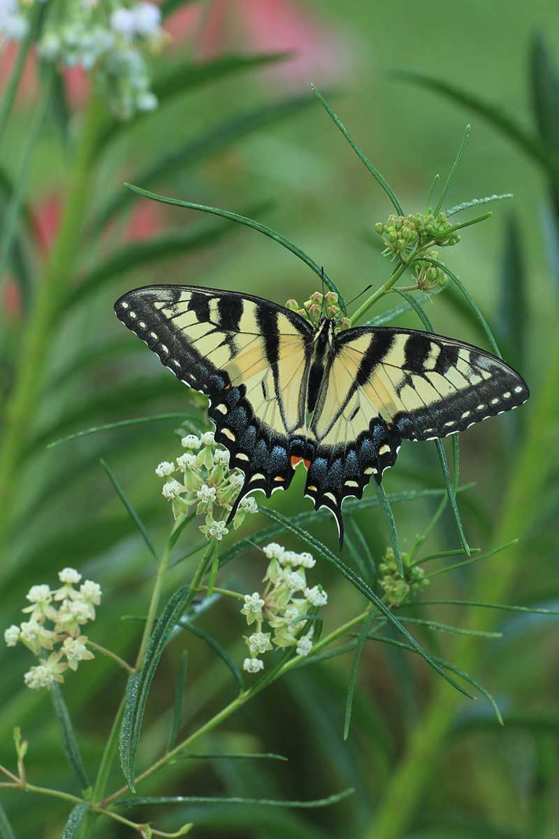 A close up vertical image of a swallowtail butterfly feeding on a whorled milkweed plant pictured on a soft focus background.