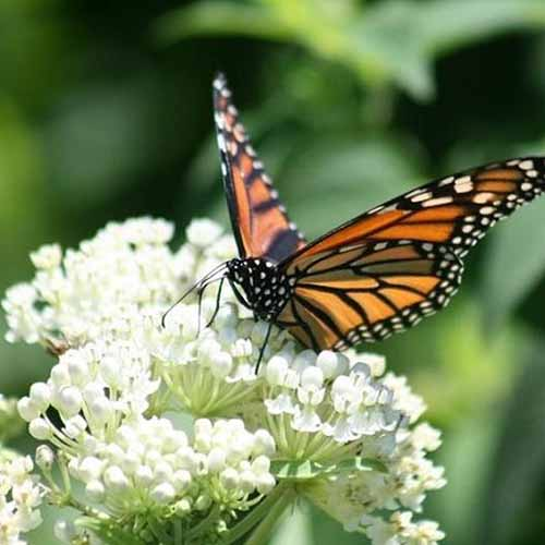 A close up square image of a monarch butterfly feeding from a white swamp milkweed flower.