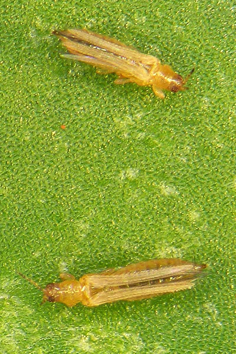 A close up vertical image of thrips on the surface of a leaf.