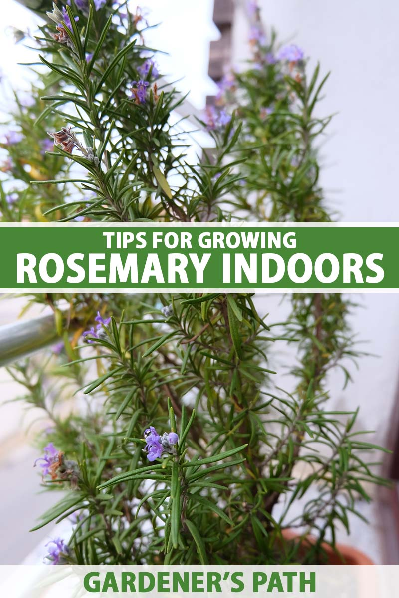 A close up vertical image of a pot of rosemary growing on a windowsill indoors. To the center and bottom of the frame is green and white printed text.