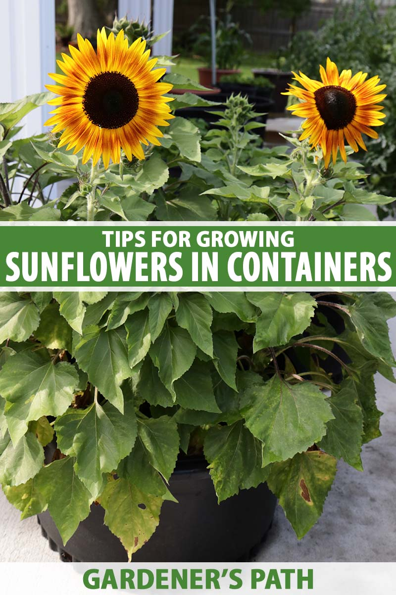 A close up vertical image of sunflowers growing in containers on a patio. To the center and bottom of the frame is green and white printed text.