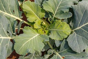 Eating Kohlrabi Greens: Tips for Harvesting and Cooking the Leaves