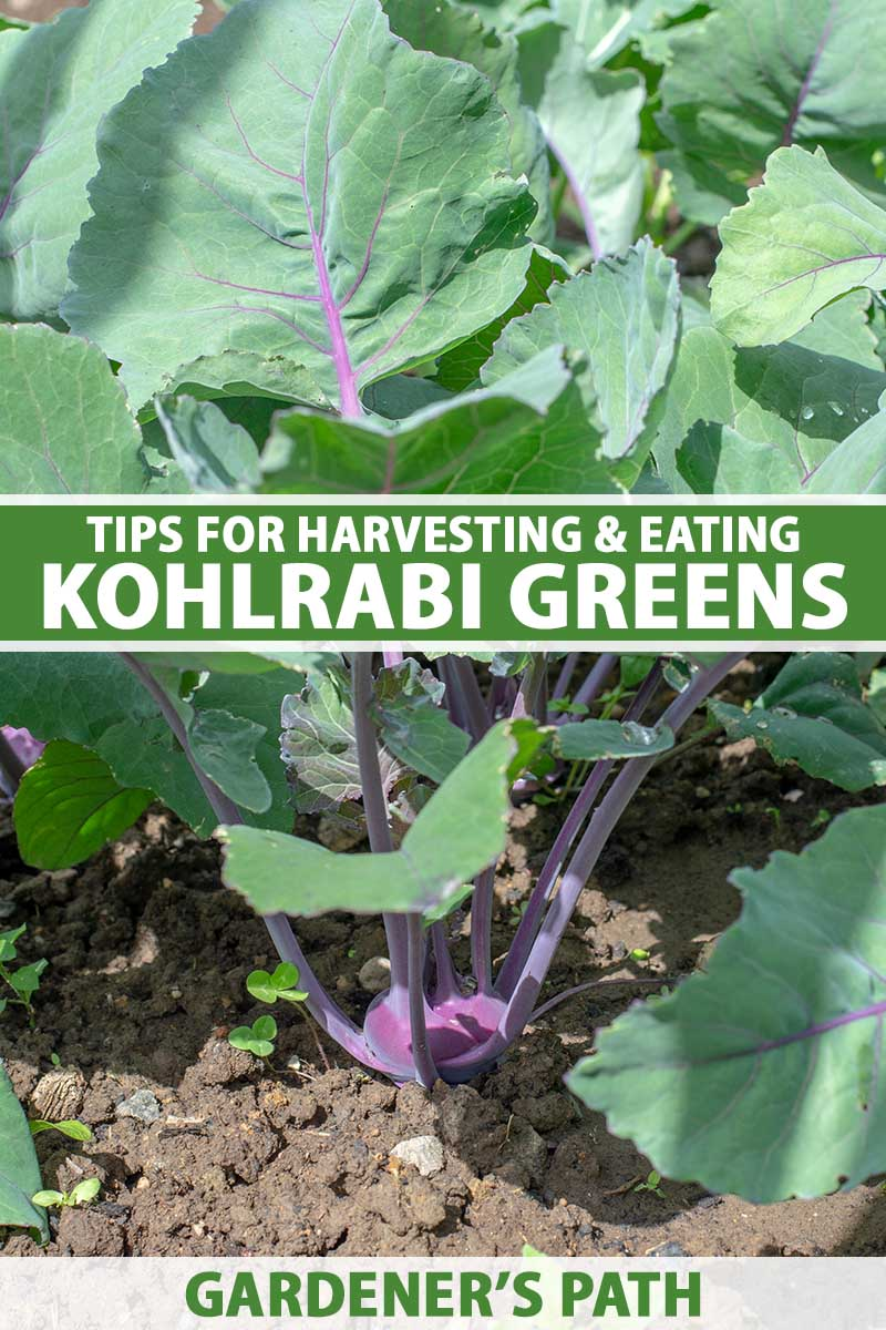A close up vertical image of a purple kohlrabi plant growing in the vegetable patch with large green leaves, pictured in bright sunshine. To the center and bottom of the frame is green and white printed text.
