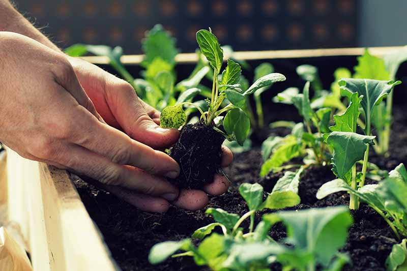 A close up horizontal image of two hands from the left of the frame transplanting small kohlrabi seedlings into a raised garden bed.