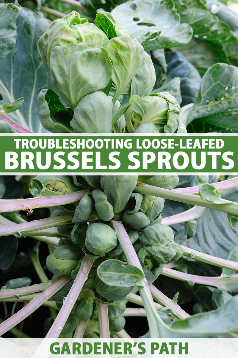 A close up vertical image of a brussels sprout plant with loose leaves around the heads. To the center and bottom of the frame is green and white printed text.
