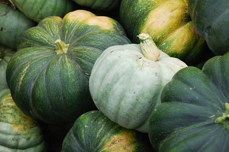 A close up horizontal image of a pile of green pumpkins freshly harvested.