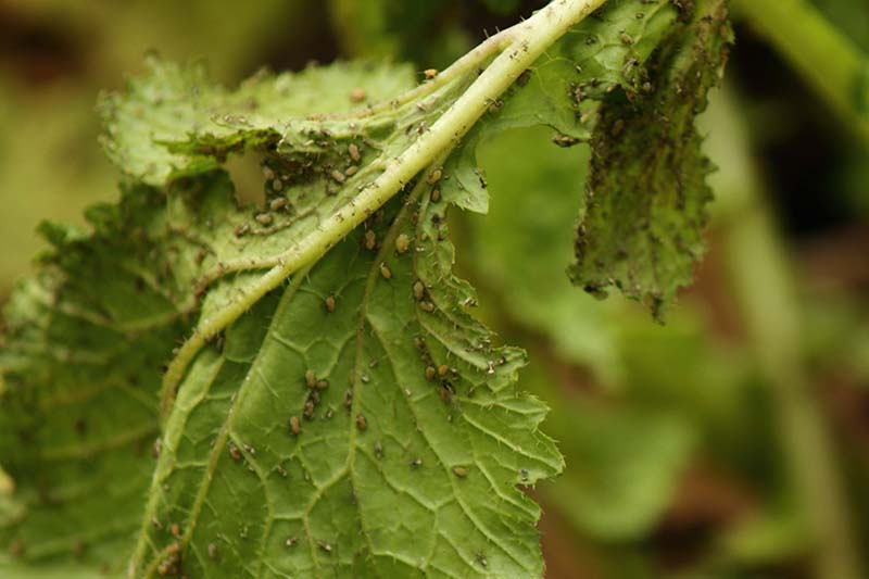 A close up horizontal image of turnip greens infested with aphids pictured on a soft focus background.
