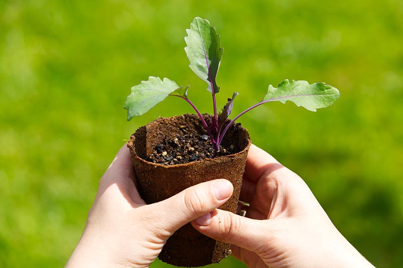 A close up horizontal image of two hands holding a turnip seedling that is growing in a biodegradable pot pictured on a soft focus background.