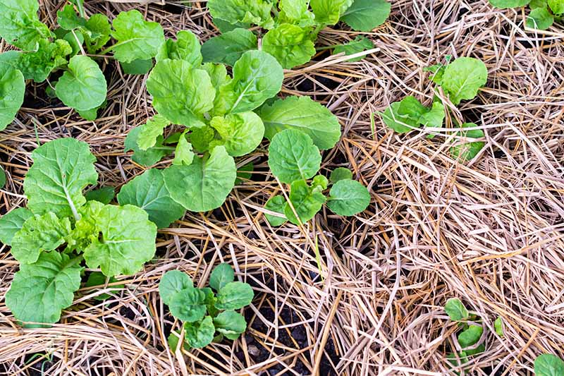 A close up horizontal image of turnip seedlings growing in the garden surrounded by straw mulch.