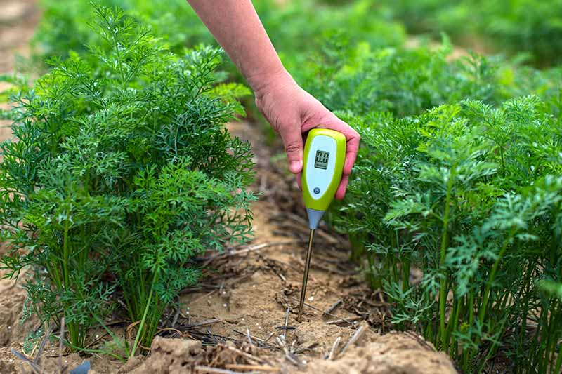 A close up horizontal image of a gardener using a hygrometer to measure the moisture in the soil in a vegetable garden.