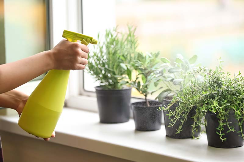 A close up horizontal image of a hand from the left of the frame holding a spray bottle of water to irrigate small pots of herbs growing on a windowsill.