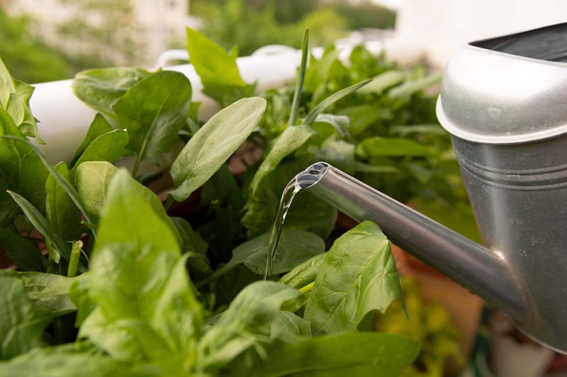 A close up horizontal image of a metal watering can with containers growing spinach on a balcony.