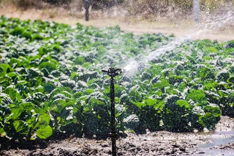A horizontal image of a sprinkler irrigating a field of brussels sprouts.