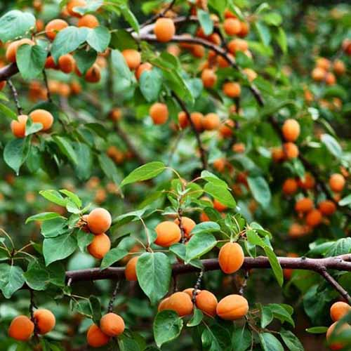 A close up square image of a 'Wenatchee' apricot tree with ripe fruits on the branches.
