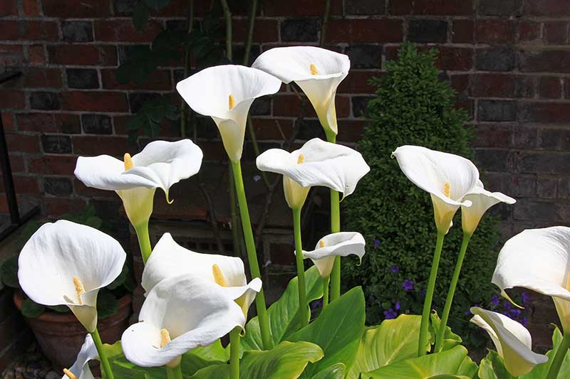 A close up horizontal image of white calla lilies growing outside a brick residence.