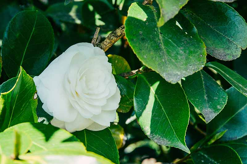 A close up horizontal image of a camellia plant with a white flower and foliage showing signs of sooty mold disease.