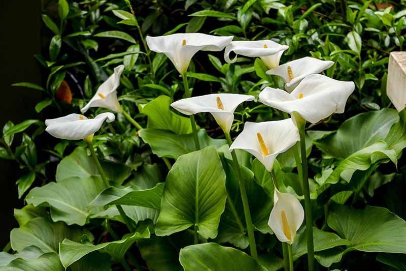A close up horizontal image of the white flowers of Zantedeschia aethiopica growing in a shady spot in the garden.